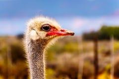 Fine su di una testa dello struzzo ad un'azienda agricola dello struzzo in Oudtshoorn nella provincia della Provincia del Capo Oc Fotografia Stock Libera da Diritti