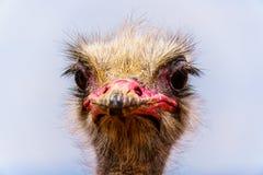 Fine su di una testa dello struzzo ad un'azienda agricola dello struzzo in Oudtshoorn nella provincia della Provincia del Capo Oc Fotografie Stock