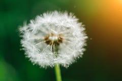Fine su luce solare dei semi del dente di leone di mattina che soffia via attraverso un fondo verde fresco fotografia stock libera da diritti