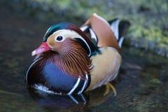 Fine su nuoto dell'anatra di mandarino del ritratto nello zoo Aix Galericulata immagine stock