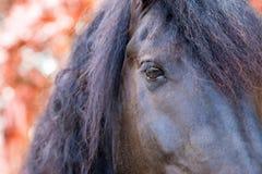 Fine su occhio frisone/frisone del cavallo nella caduta di autunno Immagine Stock