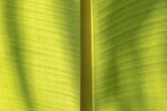 Fine su permesso di verde della banana Fondo e struttura immagini stock libere da diritti