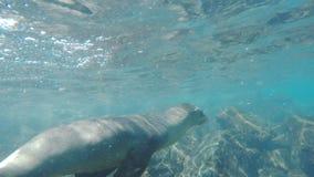 Fine subacquea su di giovane leone marino curioso alle plaze del sud di isla nelle isole di galapagos video d archivio