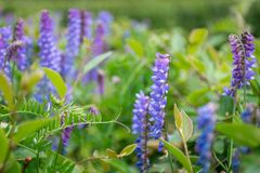 Fine sui fiori blu-viola in giardino fotografia stock
