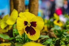 Fine sui fiori gialli della pansé del beautfiul immagine stock libera da diritti