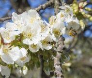 Fine sul bello macro fiore rosa di fioritura della mela con il polline della riunione dell'ape di volo i germogli fioriscono twin immagini stock