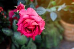 Fine sul bello mazzo delle rose rosse contro il fondo verde della sfuocatura per il tema di amore e di giorno di S. Valentino immagine stock