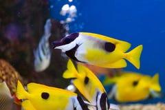 Fine sul bello pesce nell'acquario sulla decorazione di acquatico fotografia stock libera da diritti