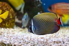 Fine sul bello pesce nell'acquario sulla decorazione di acquatico fotografie stock libere da diritti