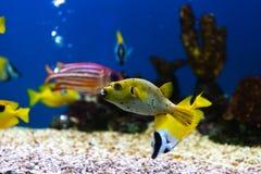 Fine sul bello pesce nell'acquario sulla decorazione di acquatico immagine stock