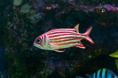 Fine sul bello pesce nell'acquario sulla decorazione di acquatico immagini stock