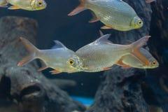 Fine sul bello pesce nell'acquario sulla decorazione di acquatico fotografie stock