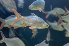 Fine sul bello pesce nell'acquario sulla decorazione di acquatico immagini stock libere da diritti