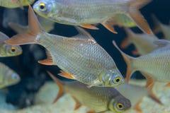 Fine sul bello pesce nell'acquario sulla decorazione di acquatico immagine stock libera da diritti