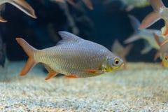 Fine sul bello pesce nell'acquario sulla decorazione di acquatico fotografia stock