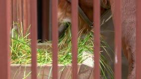 Fine sul cavallo marrone che mangia fieno video d archivio