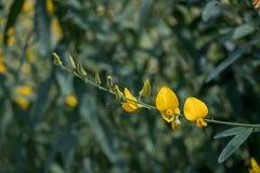 Fine sul crotalaria juncea o sul fiore della canapa delle indie immagini stock libere da diritti