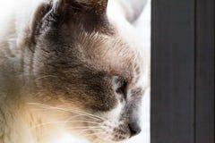 Fine sul gatto osservato blu immagini stock