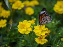 Fine sul genutia comune di Tiger Danaus della bella farfalla arancio sul fiore giallo con il fondo verde del giardino immagini stock
