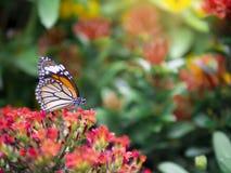 Fine sul genutia comune di Tiger Danaus della bella farfalla arancio sul fiore rosso con il fondo verde del giardino immagine stock