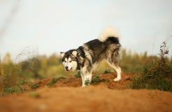 Fine sul grande cane d'Alasca maestoso di razza bianco marrone del Malamute dell'Alaska che cammina sul campo vuoto nel parco di  immagini stock