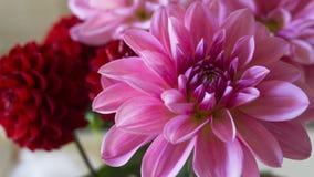 Fine sul macro rosa e sul fiore rosso della dalia immagine stock