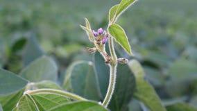 Fine sul video della pianta della soia video d archivio