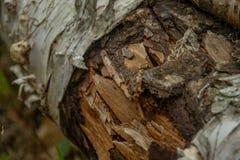 Fine sull'albero di betulla caduto fotografie stock libere da diritti