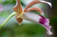 Fine sull'orchidea porpora della terra della foto fotografia stock