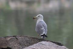 Fine sull'uccello del gabbiano di mare fotografie stock libere da diritti