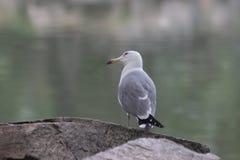 Fine sull'uccello del gabbiano di mare fotografia stock libera da diritti