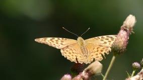 Fine sulla bella farfalla che raccoglie nettare da un fiore del cardo selvatico video d archivio