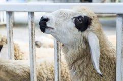Fine sulla testa delle pecore in allevamento di pecore Fotografie Stock