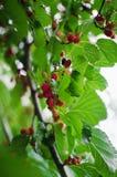 Fine sulle bacche nere e rosse mature sul morus nigra dell'albero del Morus fotografie stock