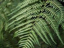 Fine sulle foglie della felce nella luce morbida con fondo vago fotografie stock