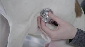 Fine sulle mani della donna con lo stetoscopio che controlla lo stomaco dei cani Esaminando nella clinica veterinaria Controllo f video d archivio