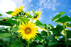 Fine summer field of sunflowers . Stock Photo