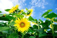 Fine summer field of sunflowers . Stock Photo