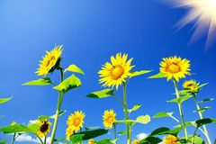 Fine sunflowers and fun sun in the sky. Stock Photo