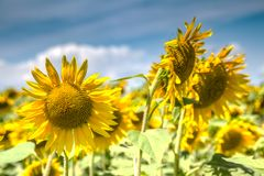 Fine sunny weather with some clouds on a blue sky and a sunflower field. Beautiful agricultural background.  stock photo