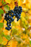 Fine sweet grapes on a foliage background Royalty Free Stock Images