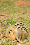 Fine tail mongoose Stock Images