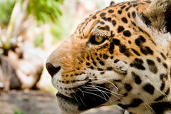 Fine in tensione del ritratto del leopardo sulla vista laterale Immagine Stock