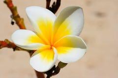 Fine tropicale bianca del fiore in su Immagine Stock