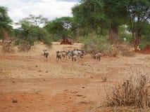 Fine-u dello gnu dell'antilope sul safari di Tarangiri - Ngorongoro fotografia stock libera da diritti
