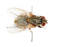 Fine usuale della mosca in su immagini stock