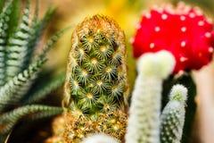 Fine variopinta del cactus su Immagini Stock