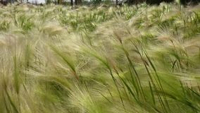 Fine verde del campo su di orzo che soffia nel vento archivi video