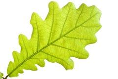 Fine verde del foglio della quercia in su Fotografia Stock