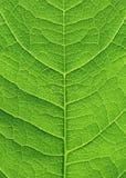Fine verde del foglio in su Immagine Stock Libera da Diritti